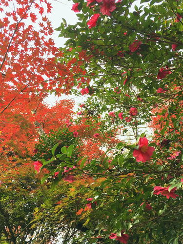 紅葉とサザンカ.jpg