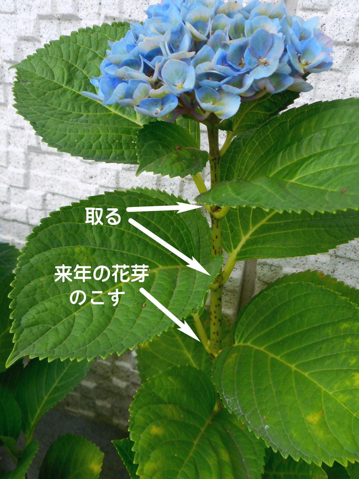 紫陽花 剪定方法